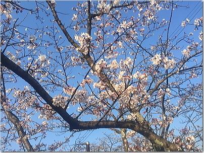 sakusakura7.jpg
